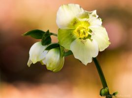 Helleborous by ARC-Photographic