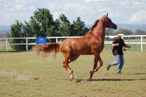 GE Arab chestnut canter side on by Chunga-Stock