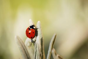 Coccinelle by sophieap