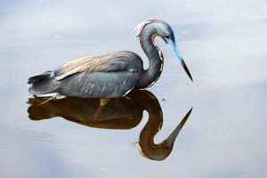 Tricolored Heron by Jay-Co