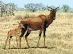 Tsessebe Mom and Calf by WillemSvdMerwe