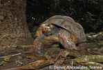 Red-footed Tortoise by torreoso