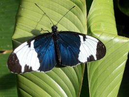 Blue Butterfly by BrighterDiscontent