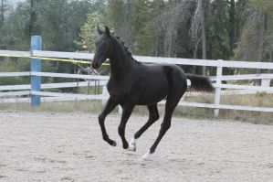 Black Warmblood Colt 015 by Notorious-Stock