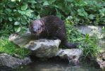 European otter by Parides
