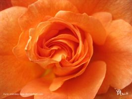 fragility of an orange rose by ilura-menday-less