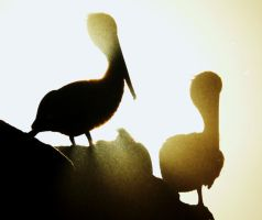 Pelicans and the Sun by copperarabian