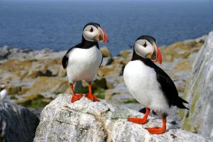 puffins by silent-osprey
