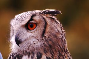 Eagle Owl by Suit-n-Shades