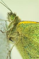 Green Butterfly by Peug