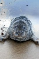 Seal Pup by cprmay
