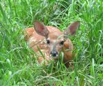 Fawn in Hiding 4a by Windthin