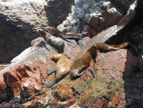 ''Sealions rock too'' by Pakurno