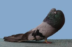 Hungarian Cropper pigeon by purzli