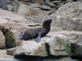 Animals 117 baby sea lion by Dreamcatcher-stock