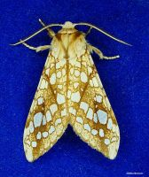 Hickory Tussock Moth 1 2009 by seto2112