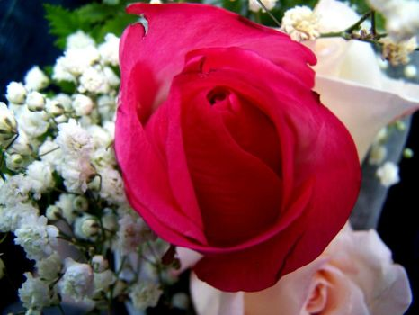 Single Red Rose by thebloodywicca