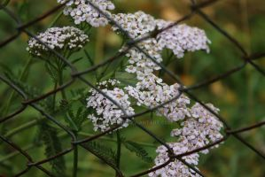 White flowers by Armigerer