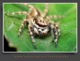 jumping spider 4 by dhead
