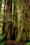 Redwoods01 by DalCais
