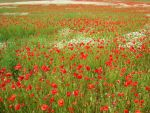 poppies and daisies in a field by alexarosebrown