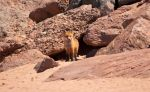Red Fox on PEI Beach by PrimalOrB