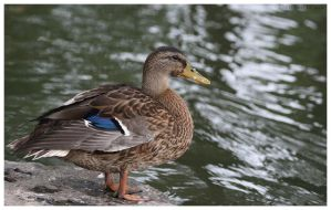 Duck by trix2008