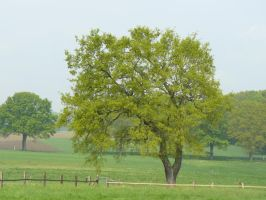 spring oak tree by Nexu4
