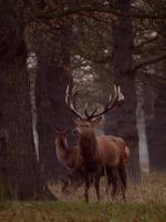 Red Deer Stag 01 - Dec 09 by mszafran