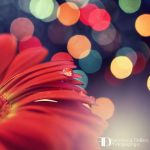 Christmas gerbera by FrancescaDelfino