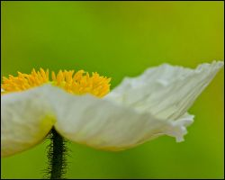 papaver by justfrog