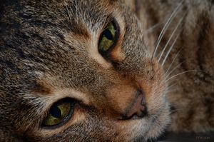 Kitty portrait - F3 Savannah by FFeLKat