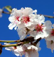Almond Flowers 3_1 by ximocampo