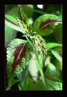 Coleus (unknown variety) by wytrvn