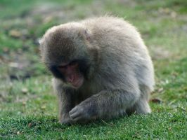 Japanese macaque by piglet365