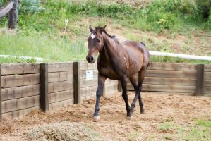KM Old TB trot front 3/4 by Chunga-Stock