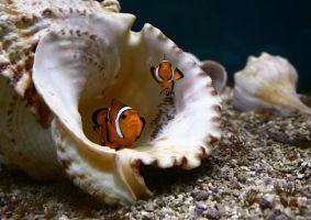 Clown Fish I by Verenth
