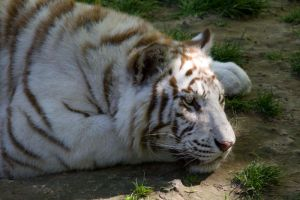 d584 - White Tiger by Jay-Co
