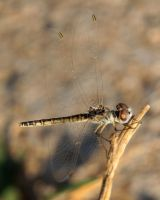 Sympetrum fonscolombii, female by Shooter--Andy