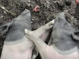 2 Pigs by PucchiQ