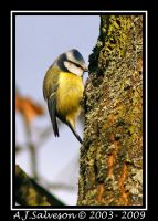 Blue Tit II by andy-j-s