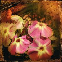 Phlox by inObrAS