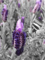 French Lavender by Gwitha-Kathes