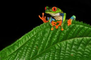 Red-eyed Tree Frog - Foot Waves by robbobert
