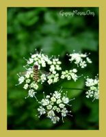 Mini Bee and Queen Annes Lace by che4u