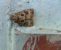 Moth by Faunamelitensis