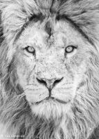 lion beauty by Yair-Leibovich