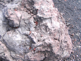 Etna - Colonies of ladybugs living on the volcano by Tazunee