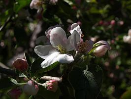 Apple Blossom II by Xercatos
