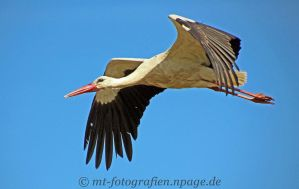 A stork on foraging by MT-Photografien